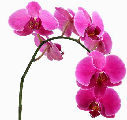 pink-orchid-415×391